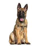 Belgian Shepherd dog, 4 months old, sitting against white backgr