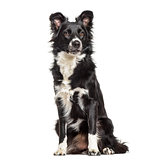 Border Collie dog, 1 year old, sitting against white background