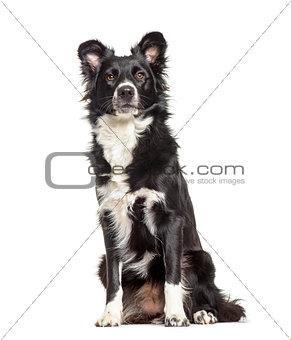 Border Collie dog, 1 year old, sitting against white background
