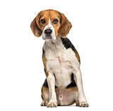 Beagle dog , 2 years old, sitting against white background