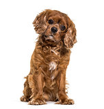 Cavalier King Charles dog sitting against white background