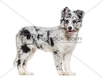 Young Border Collie dog looking at camera against white backgrou