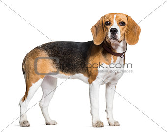 Beagle dog standing against white background