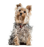 Yorkshire terrier dog looking up against white background