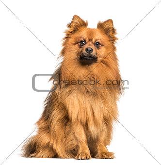 Keeshond dog sitting against white background