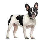 French bulldog standing against white background