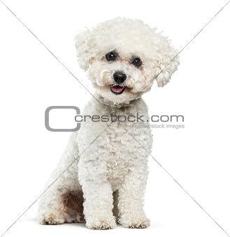 Bichon Frise dog sitting against white background