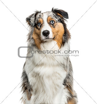 Australian Shepherd dog looking up against white background
