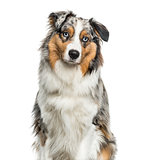 Australian Shepherd dog looking at camera against white backgrou