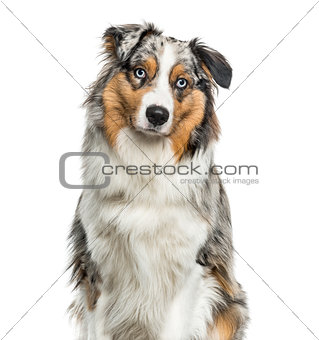 Australian Shepherd dog looking at camera against white backgrou