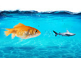 Big goldfish attacks a scared shark in the ocean. concept of bravery