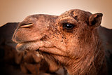 camel head. Travel through the desert