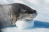 Head shot of a Leopard seal on an ice