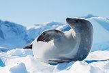 Crabeater seal on ice flow, Antarctica
