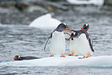 Gentoo Penguins on the ice