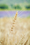 Spikelet of Rye
