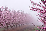 Peach tree in bloom, with pink flowers, in a foggy day, at sunrise