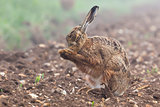 Wild brown hare with eyes closed, having a morning wash 0124