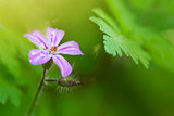 Small wild pink flower.