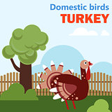 Domestic bird turkey