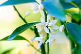 Mandarin blooming tree