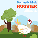 Domestic bird rooster