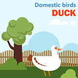 Domestic bird duck