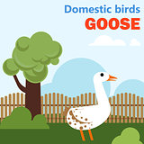 Domestic bird goose