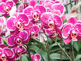 Large pink orchid for decorated in the greenhouse.