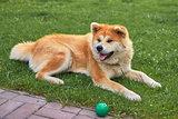 Dog Laika lies on the green grass close-up