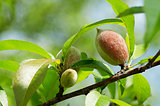 Peach grows on a branch with leaves on a summer day