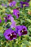 Purple voila flowers