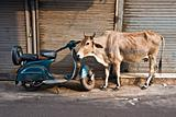 Cow and scooter, Old Delhi, India.
