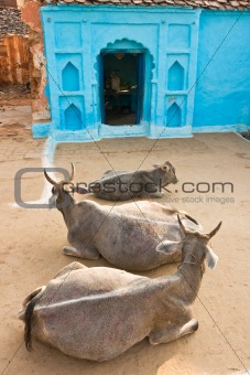 Three Cow in Orcha, India.