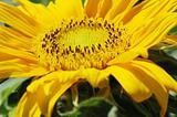 Macro Shot of Sunflower