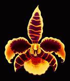 Rossioglossum Orchid Flower