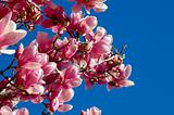 Magnolia Blossoms