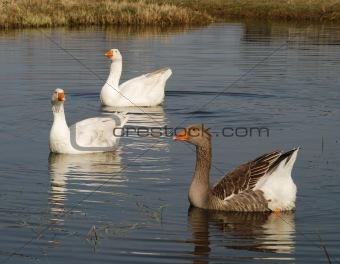 Three ducks, white and multi-coloured