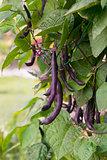 "Special heirloom ""purple"" green beans"