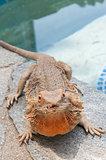pet bearded dragon (Pogona) lizard by poolside