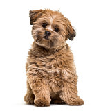 Lhasa apso dog, 8 months old, sitting in front of white backgrou