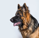 German Shepherd dog in profile against blue background