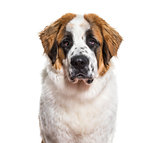 St.Bernard dog in portrait against white background