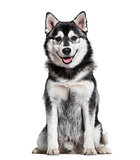 Pomsky dog sitting against white background