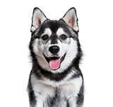Pomsky dog panting against white background
