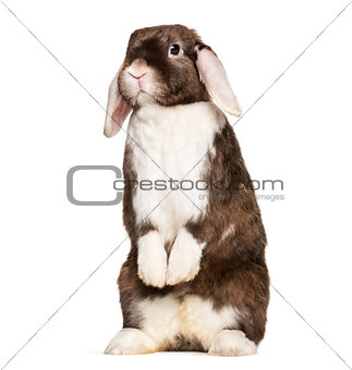 Rabbit looking at camera, on hind legs against white background