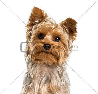 Yorkshire terrier dog in portrait against white background
