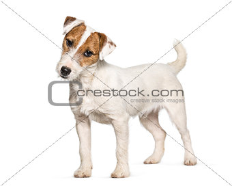 Jack Russell Terrier puppy standing against white background