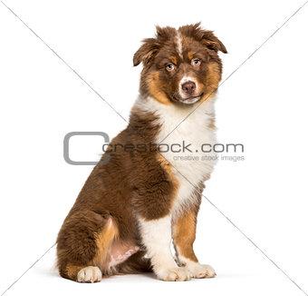 Australian Shepherd dog sitting against white background