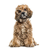 Brown Mixed-breed dog in portrait against white background